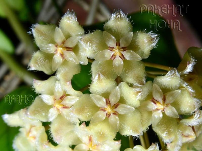 Hoya sp. aff. erythrina GPS10143 Dsc_3010