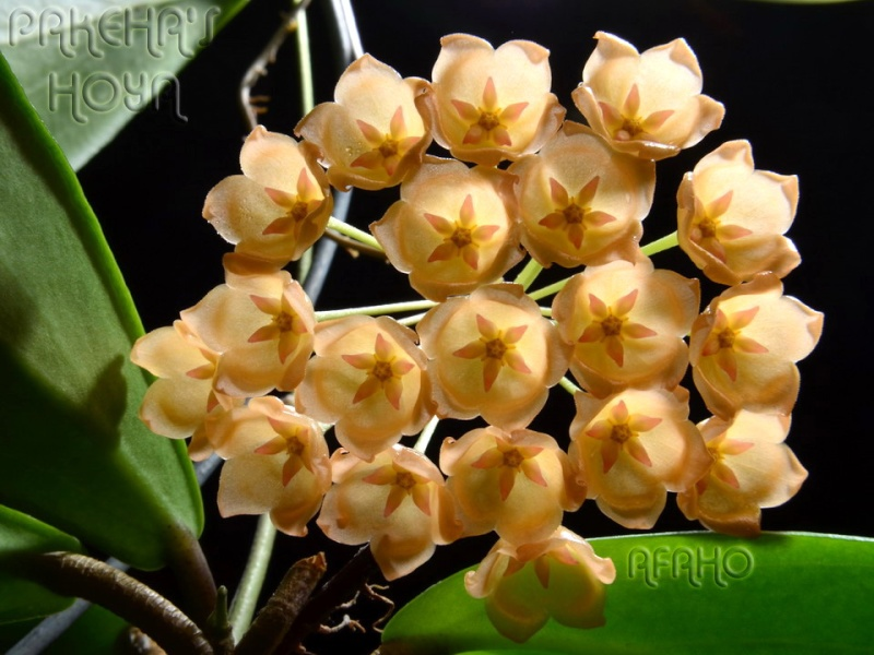 Hoya sp. 'Golden Flame' (aff. blashernaezii) Dsc_7410