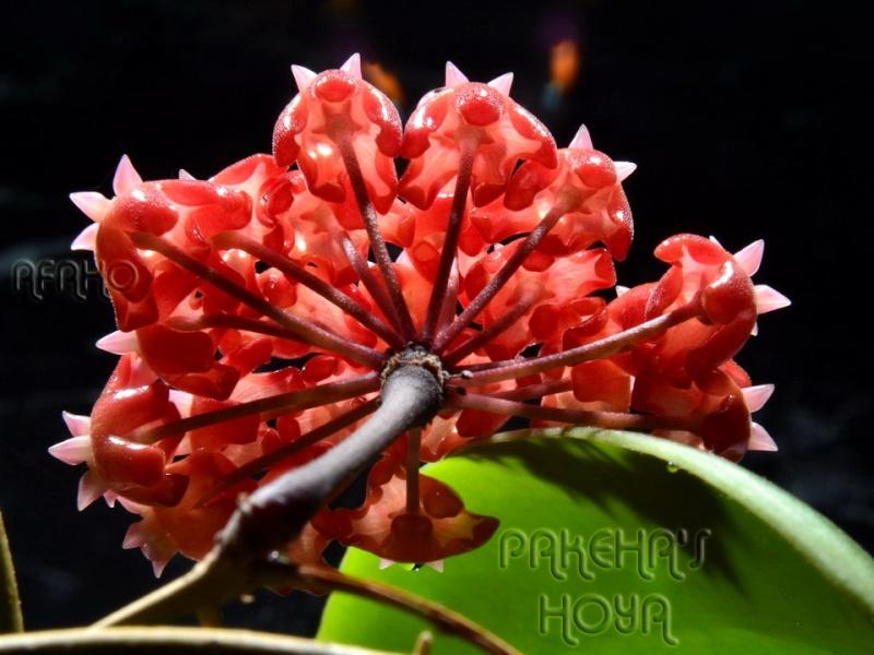Hoya ilagiorum (fost hoya ilagii) Dsc_7511