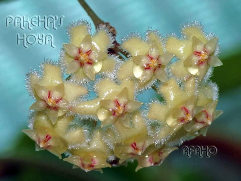 Hoya sp. aff. erythrina GPS10143 Img_1311