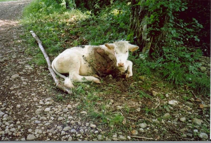 Mes amis les bergers pleurent Gnisse11