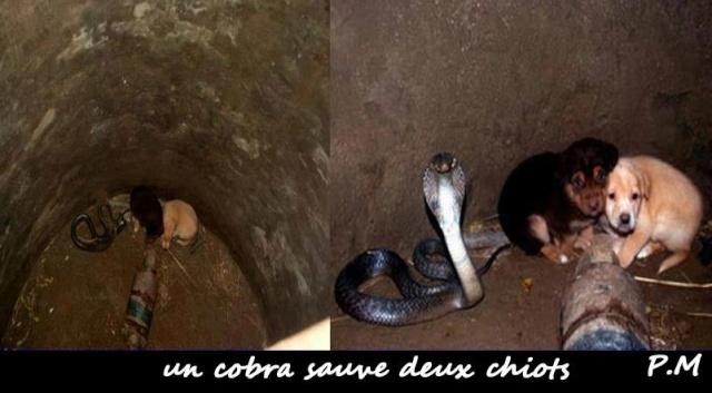 Un cobra sauve deux chiots ! Insolite !  Coco1010