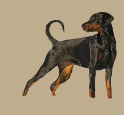 Beauceron ♂ - DARKHO Sans_t10
