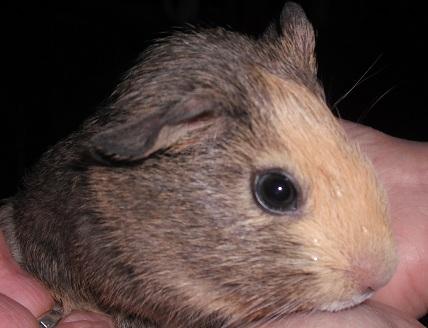 2 bébés cochon d'indeshandicapé au Terrier(54) Dscf1219