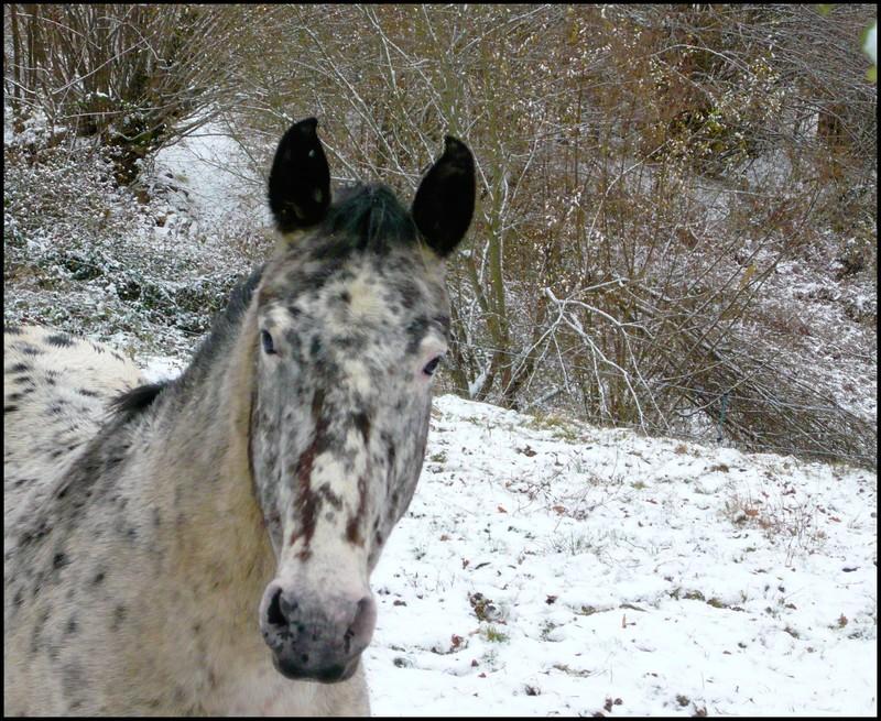 Les juments et l'hiver..... Etoile12