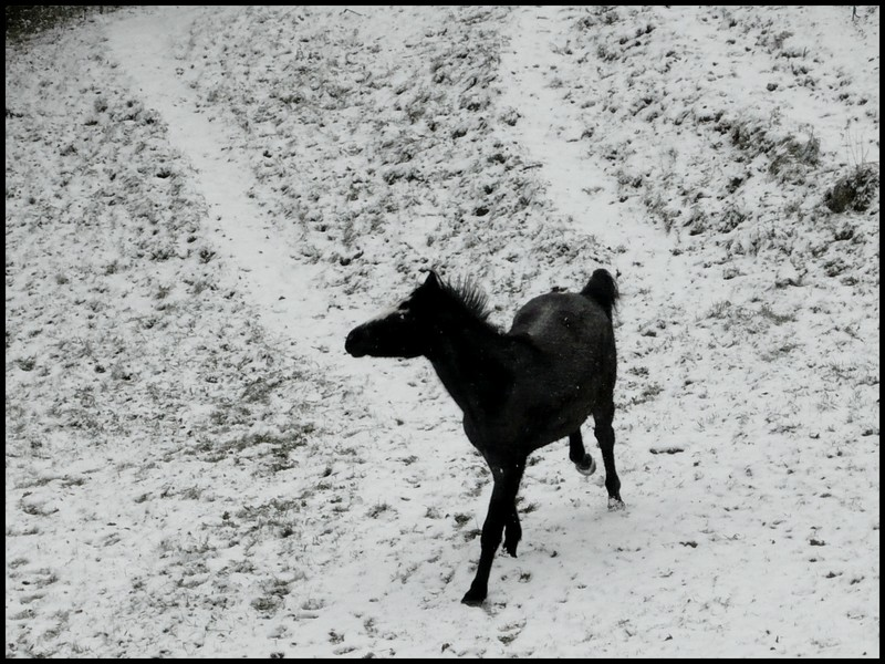 Les juments et l'hiver..... Little10