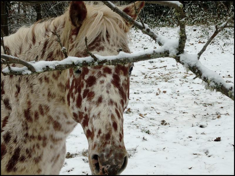 Les juments et l'hiver..... Napabe10