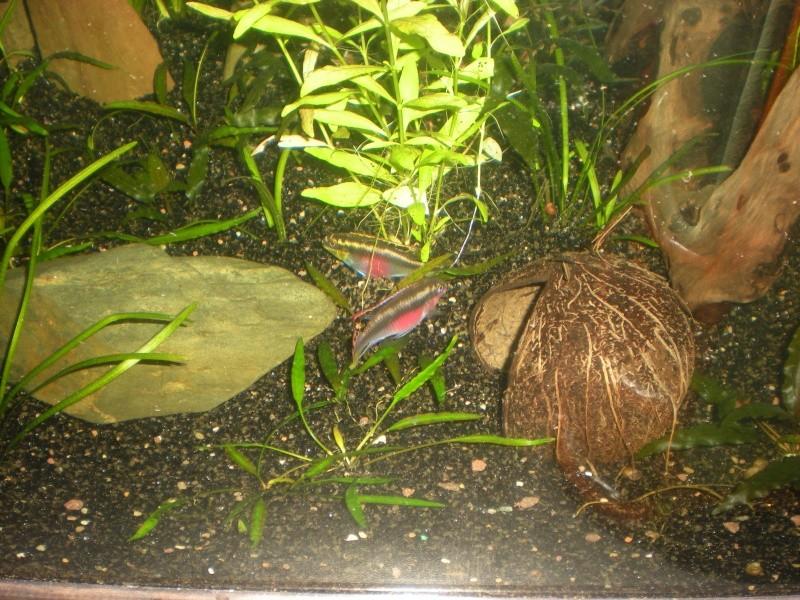 Salvanah : pelvicachromis pulcher - Page 2 Dscn4710
