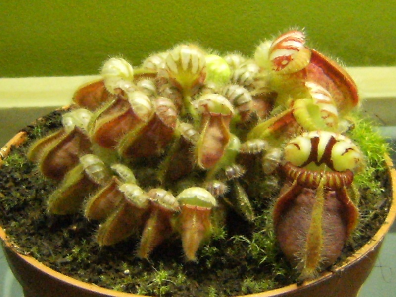 Evolution Cephalotus Dscf0311