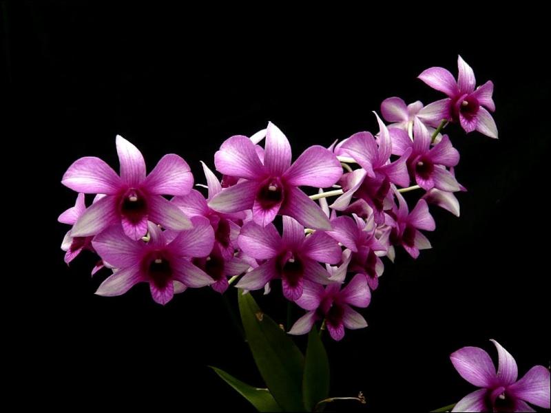 Dendrobium NOID Dendro13