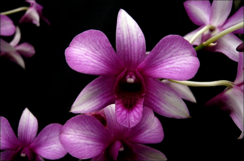 Dendrobium NOID Dendro14