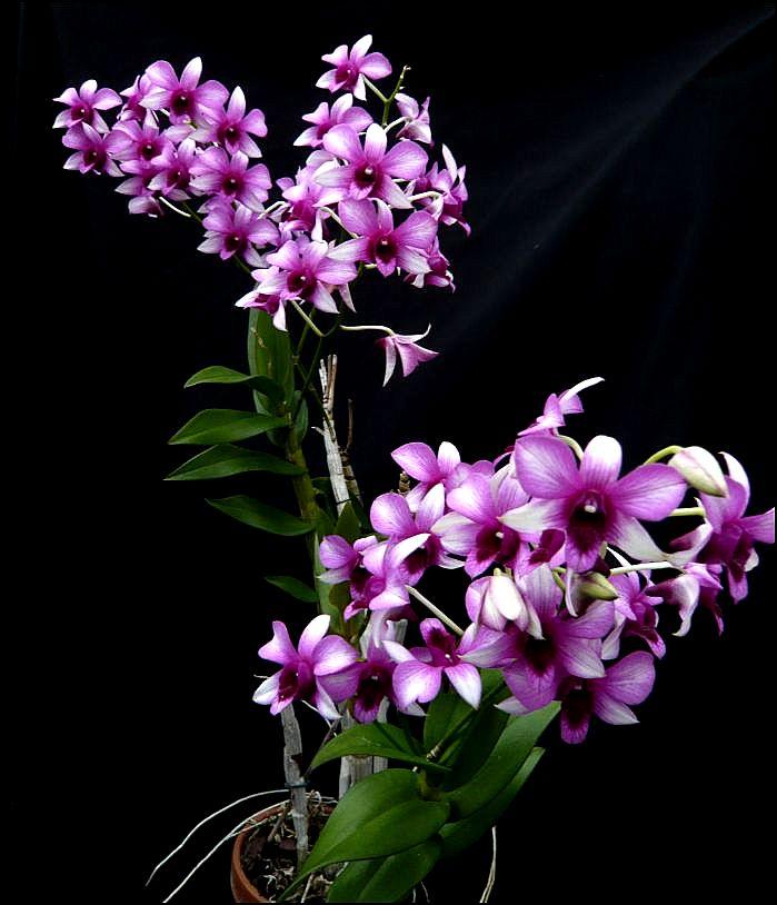 Dendrobium NOID Dendro15