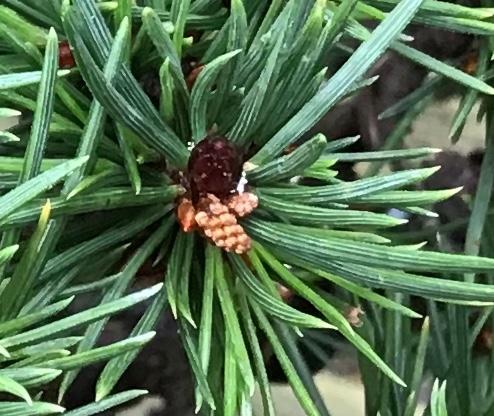 Virginia pine cone formation 61882710
