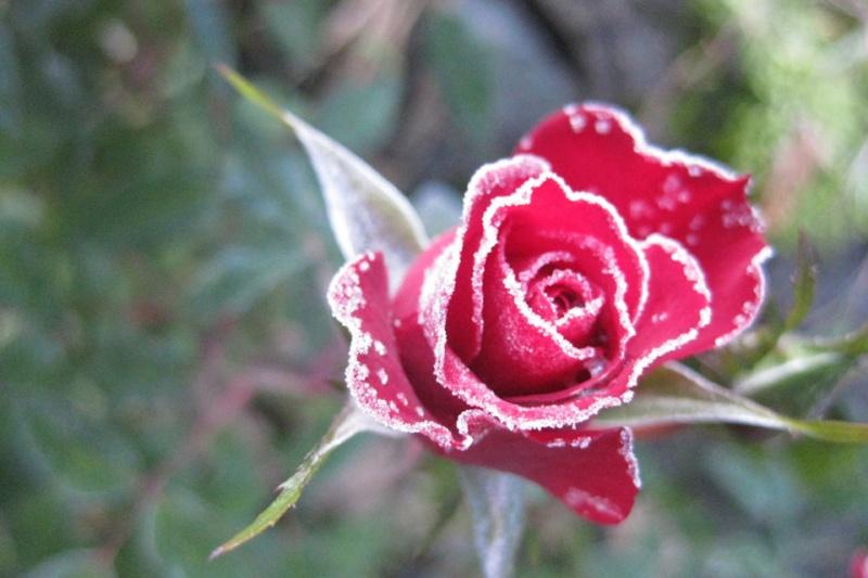 Hoa bọc trong tuyết 05719010
