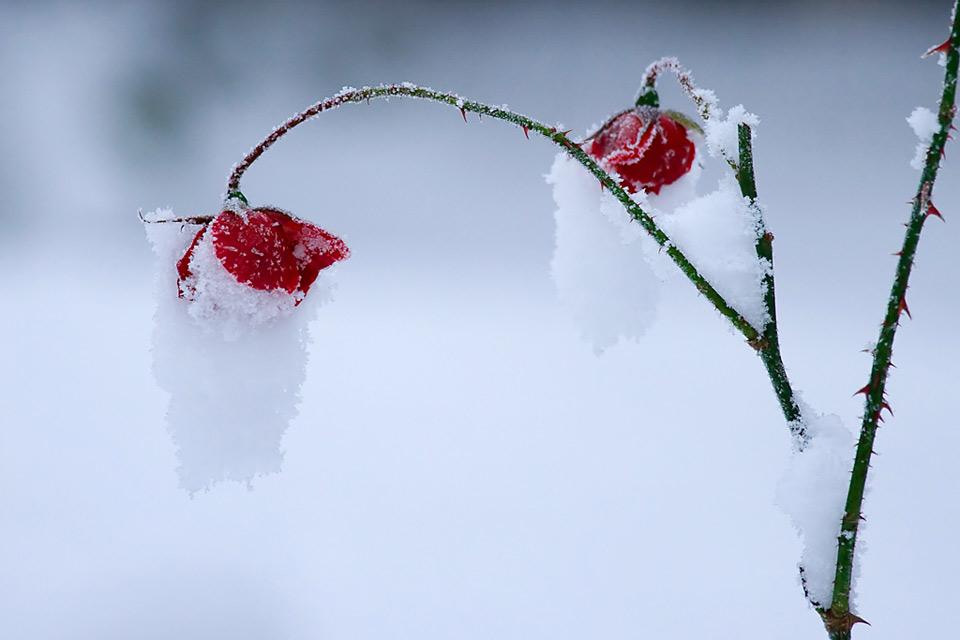 Hoa bọc trong tuyết 2f0cba10