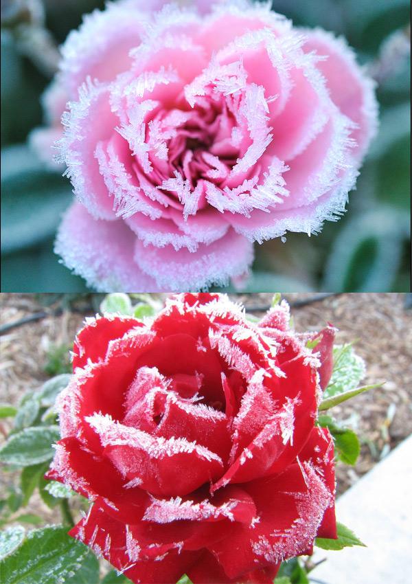 Hoa bọc trong tuyết 33197810