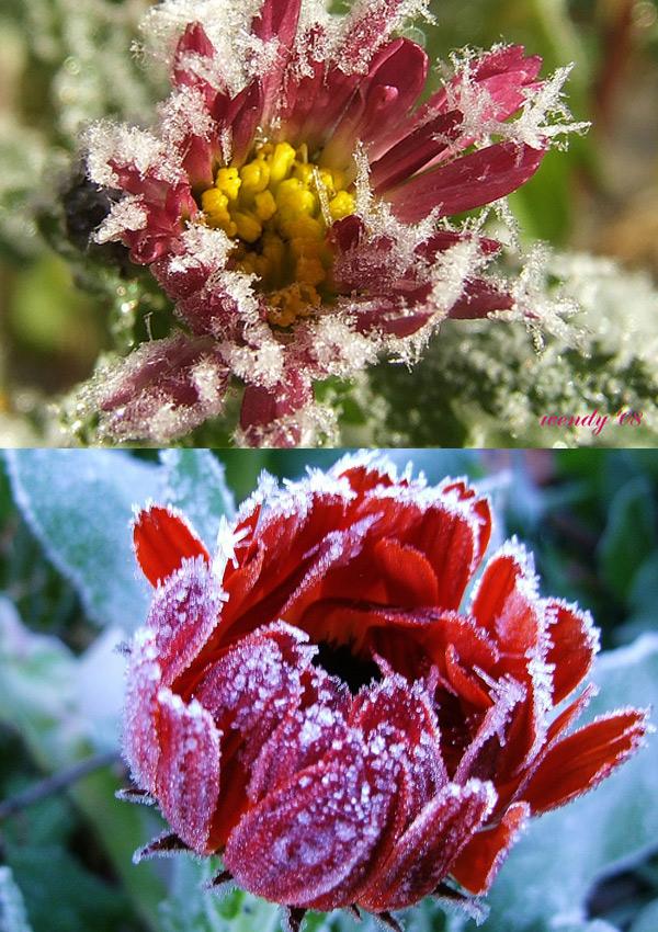 Hoa bọc trong tuyết 3fe22a10