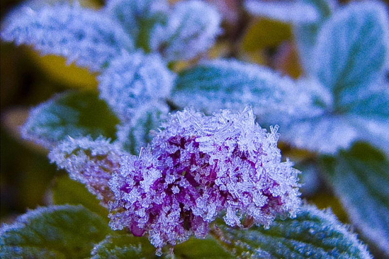Hoa bọc trong tuyết 4f18d910
