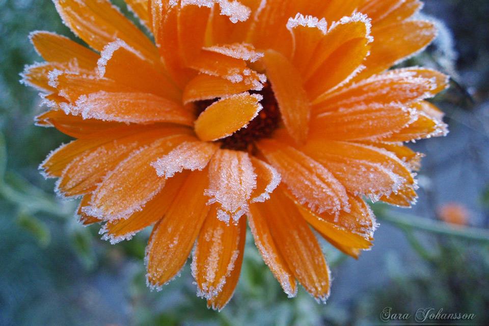 Hoa bọc trong tuyết 5031f210