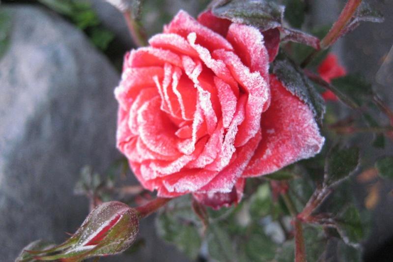 Hoa bọc trong tuyết 65dd7f10