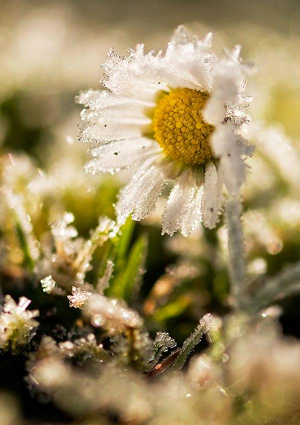 Hoa bọc trong tuyết 6f1b8e10