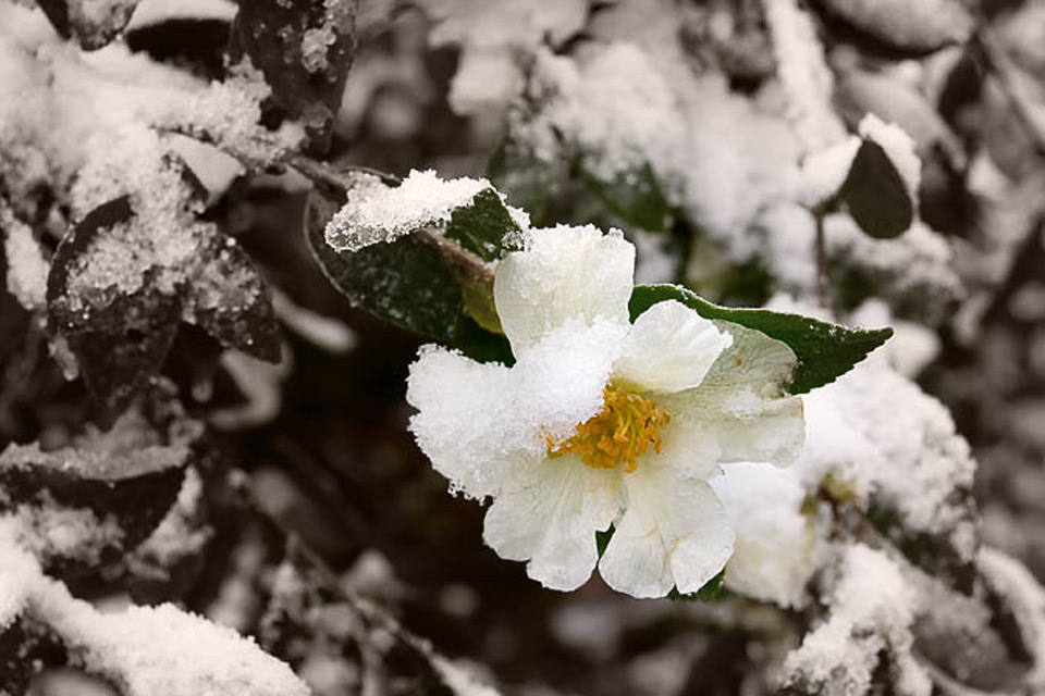 Hoa bọc trong tuyết 90002810