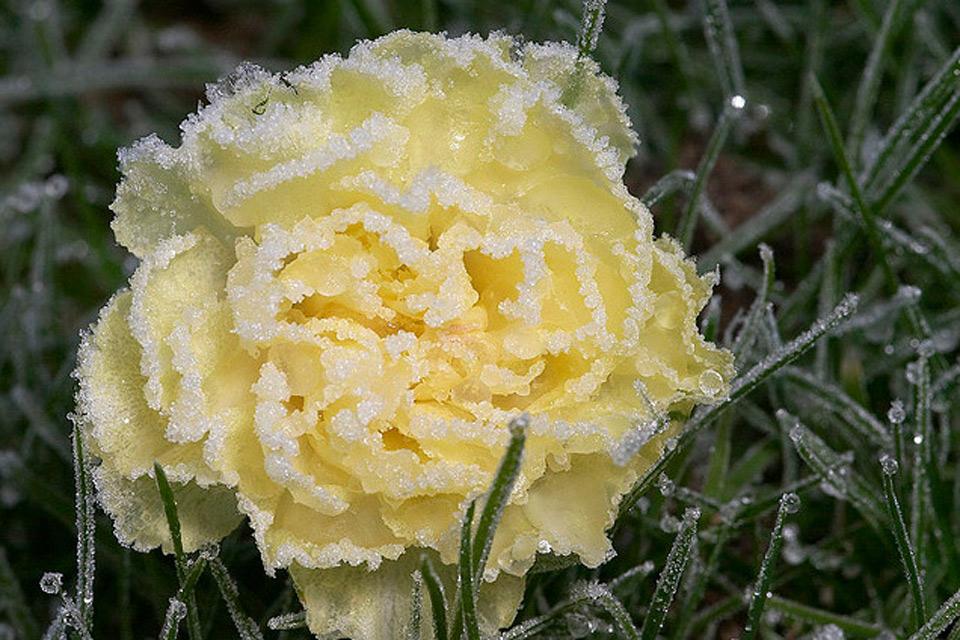 Hoa bọc trong tuyết A21fcb10