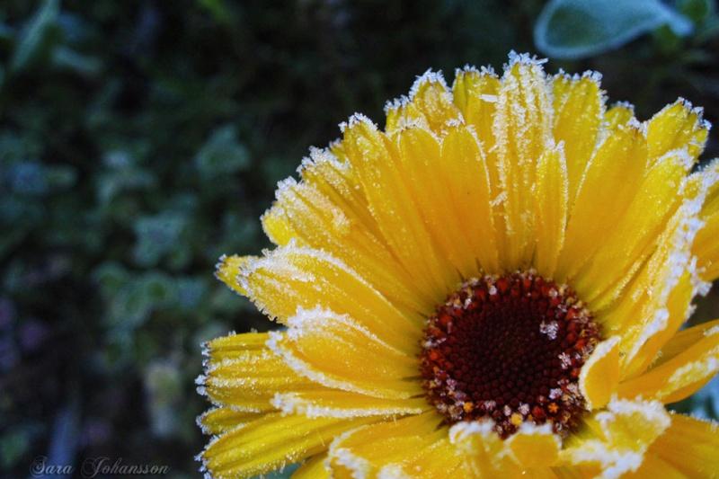 Hoa bọc trong tuyết A821a710