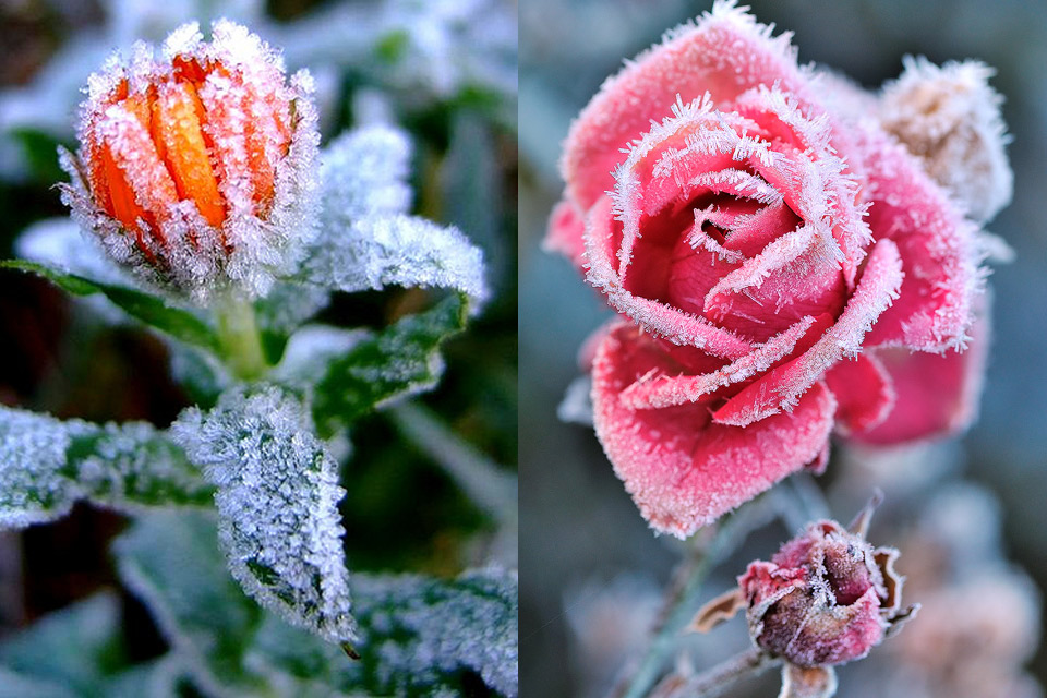 Hoa bọc trong tuyết D5bc6310