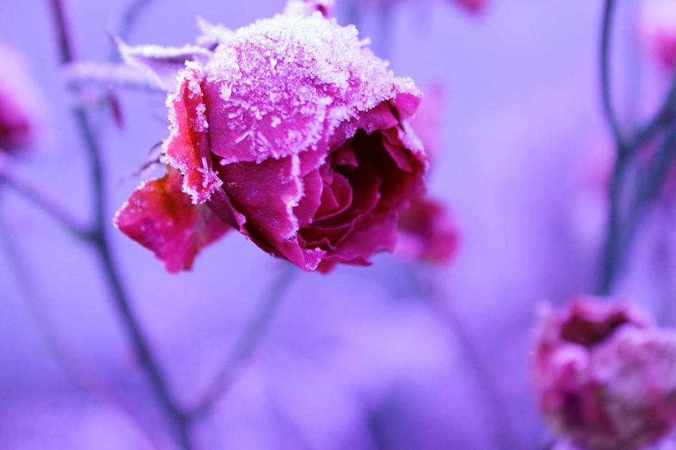 Hoa bọc trong tuyết Dbc74310