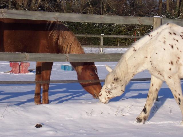 Les chevaux et la neige 100_5610