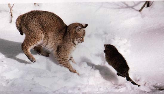 Belles photos d'animaux sauvages - Page 35 Chasse10