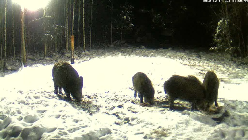 Boars cam, winter 2012 - 2013 - Page 3 Vlcsna11