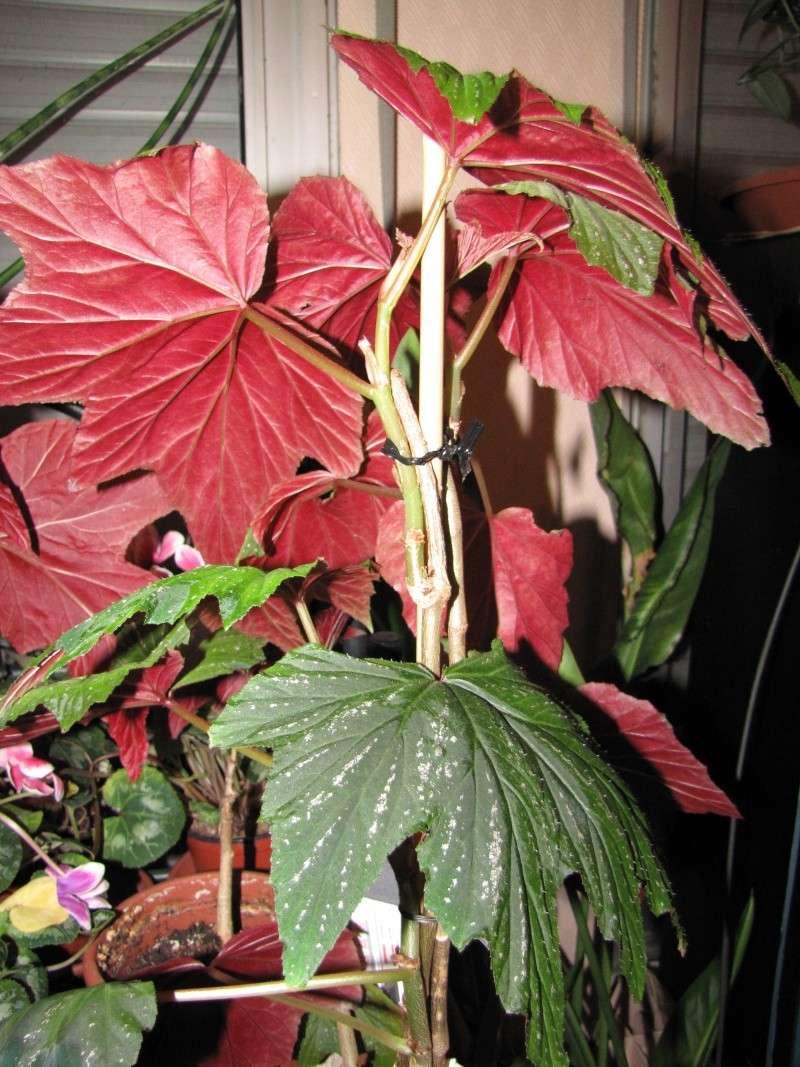 [Recherche] Begonia aconitifolia, Amaterasu, diadema et gardneri Begoni10