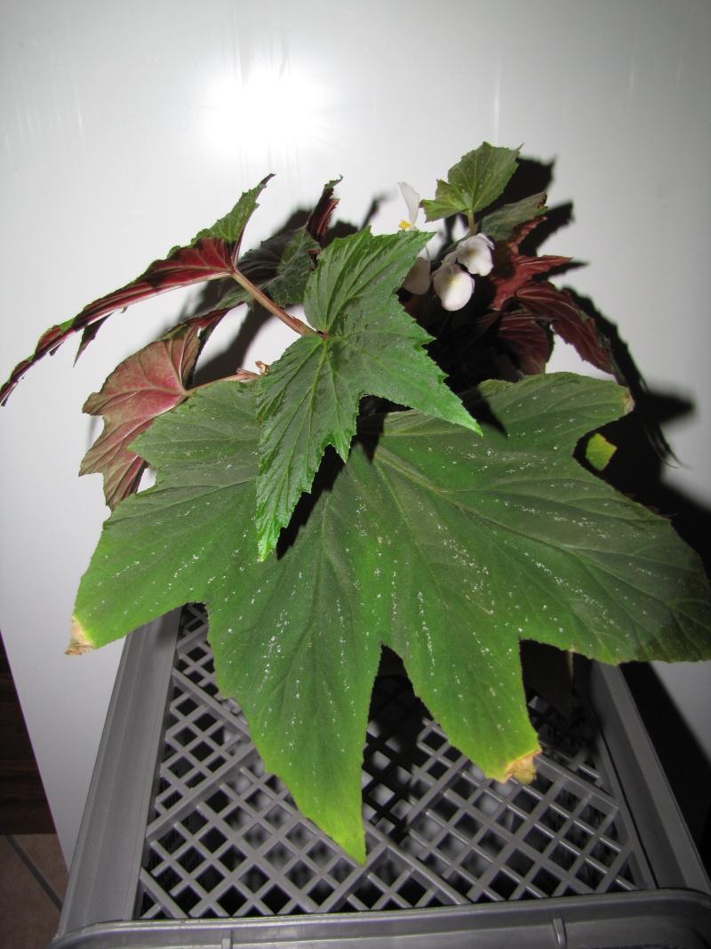 [Recherche] Begonia aconitifolia, Amaterasu, diadema et gardneri Begoni11