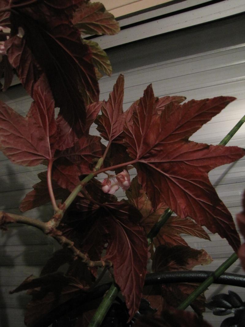 [Recherche] Begonia aconitifolia, Amaterasu, diadema et gardneri Begoni13