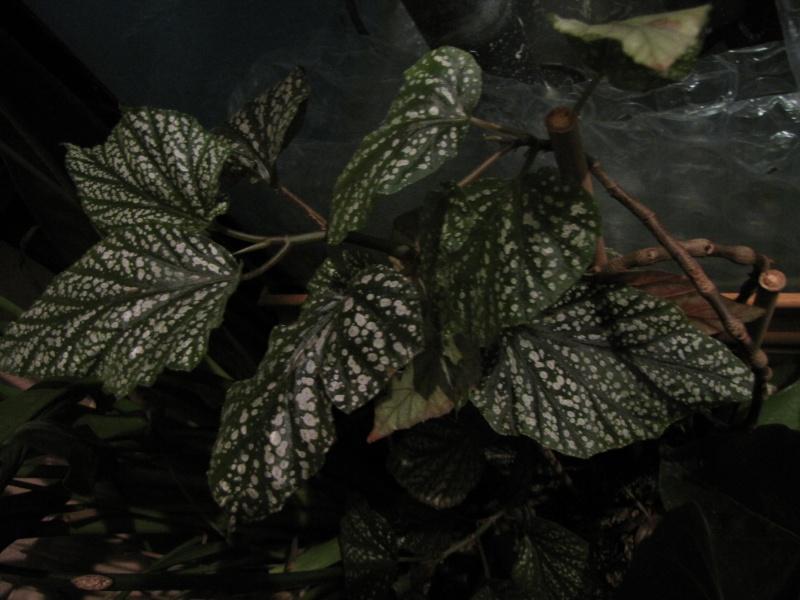[Recherche] Begonia aconitifolia, Amaterasu, diadema et gardneri Begoni14