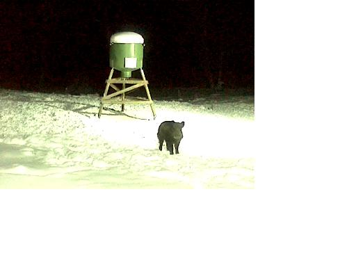 Wild Pig Camera Lovers/ ADDRESS CHANGED TO SWEDISH STREAMING CAM - Page 6 Boar_c11