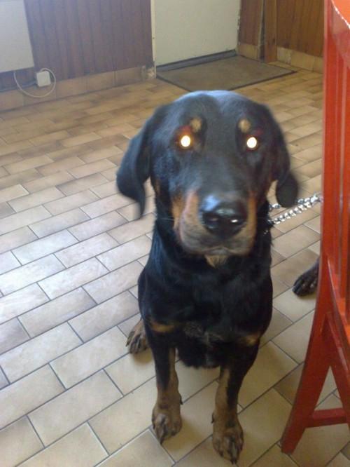Blacky mâle beauceron 2 ans à peine spa de beauvais 1_500_59