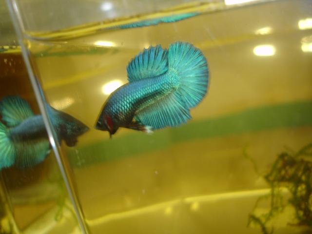 repro du 19 juillet femelle drygamxmale hm turquoise Betta_20
