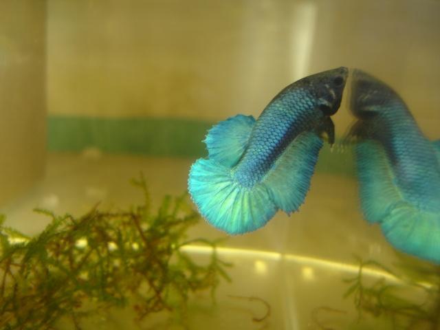 repro du 19 juillet femelle drygamxmale hm turquoise Betta_21