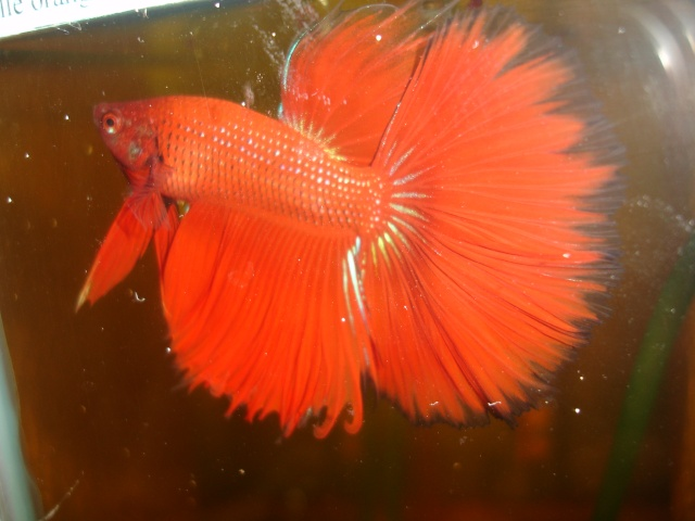 Photos repro hm rouge x hm? orange,ct ou halfsun? Bettas16