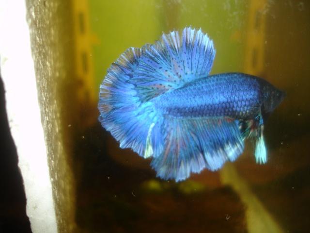 SD papillon rougex femelle bleu HM Dossie10