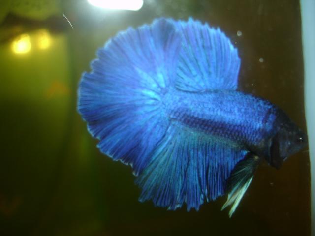 SD papillon rougex femelle bleu HM Dossie12