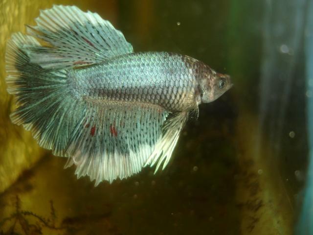 SD papillon rougex femelle bleu HM Dossie16