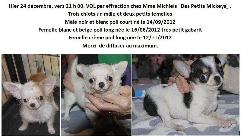 """3 Chiots Chihuahua Volés en Belgique - Elevage des petits Mickeys"""" 55709910"""