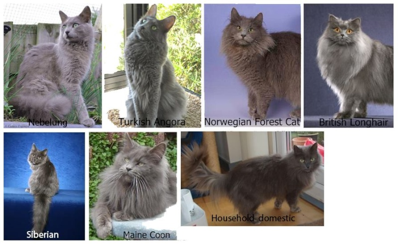 Is my cat a Nebelung? Lh__se10