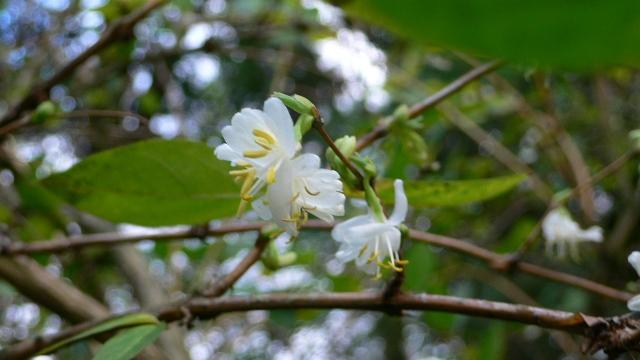 Lonicera fragrantissima,du parfum en hiver Lonice11