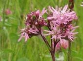 les mauvaises herbe dans le jardin Lychni10