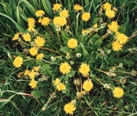 les mauvaises herbe dans le jardin Margue10